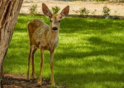 Ennis Homestead with Deer on Lawn